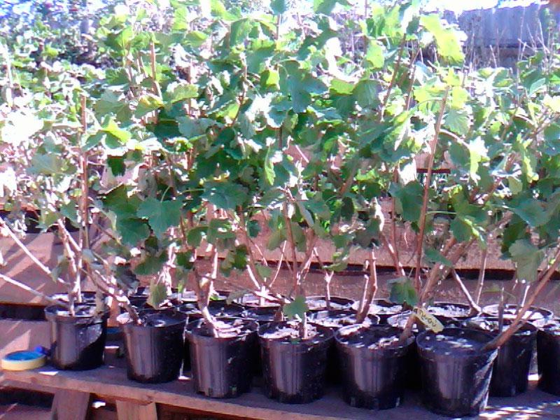 Йошта: гибрид крыжовника и смородины, посадка и уход, выращивание | 600x800