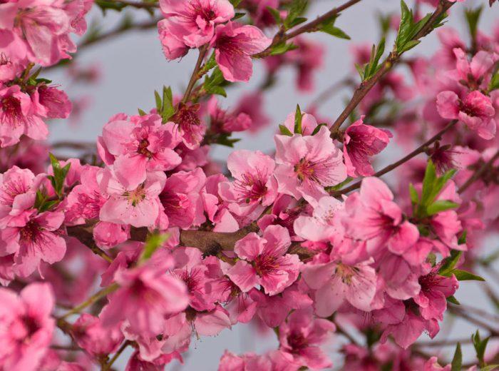 Уход за нектарином весной