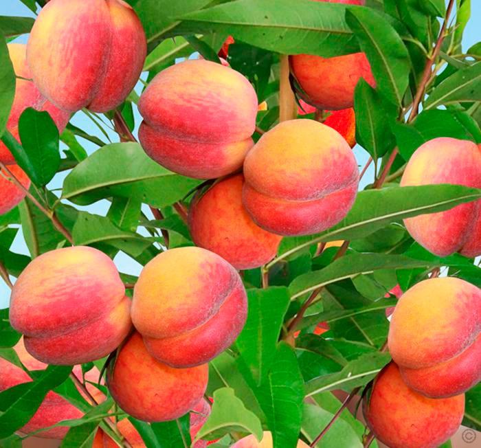 Особенности осенней посадки персика