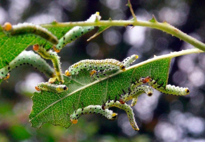 Личинки пилильщиков