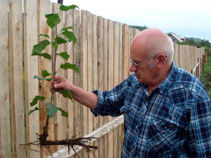 Размножение яблони черенкованием