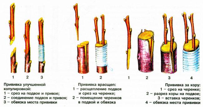 Прививка черенками