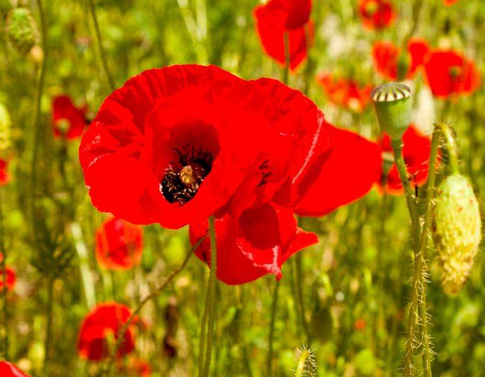 Цветок мак: посадка и уход в открытом грунте, виды и сорта ...