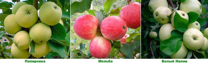 Ранние сорта яблонь
