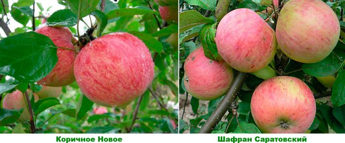 Средние сорта яблонь