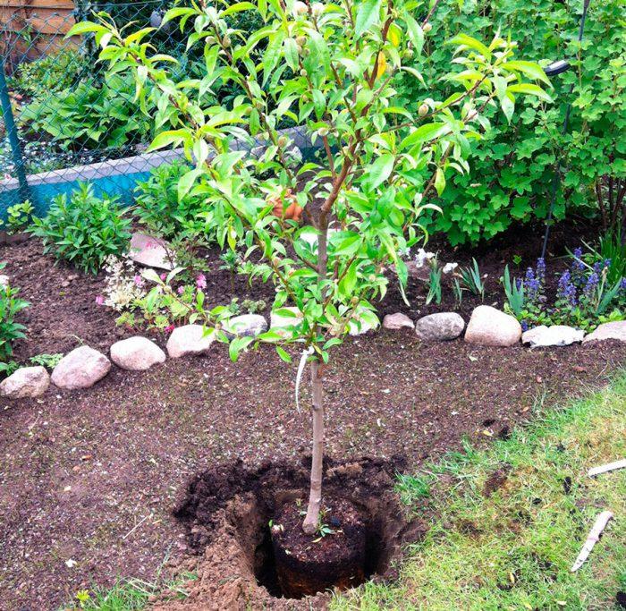 Посадка персика в открытый грунт