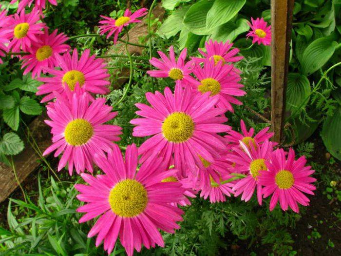 Уход за пиретрумом в саду