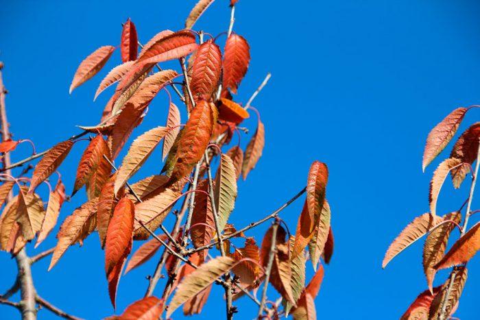 Уход за черешней осенью