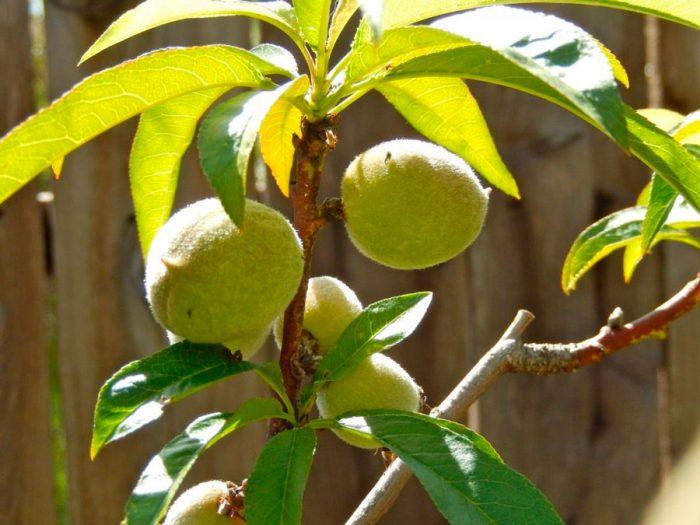 Уход за персиком летом