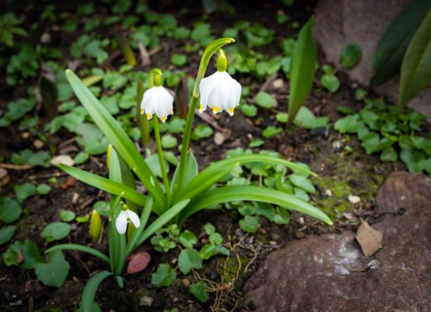 Посадка белоцветника в открытом грунте