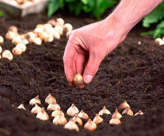 Посадка хионодоксы в открытом грунте