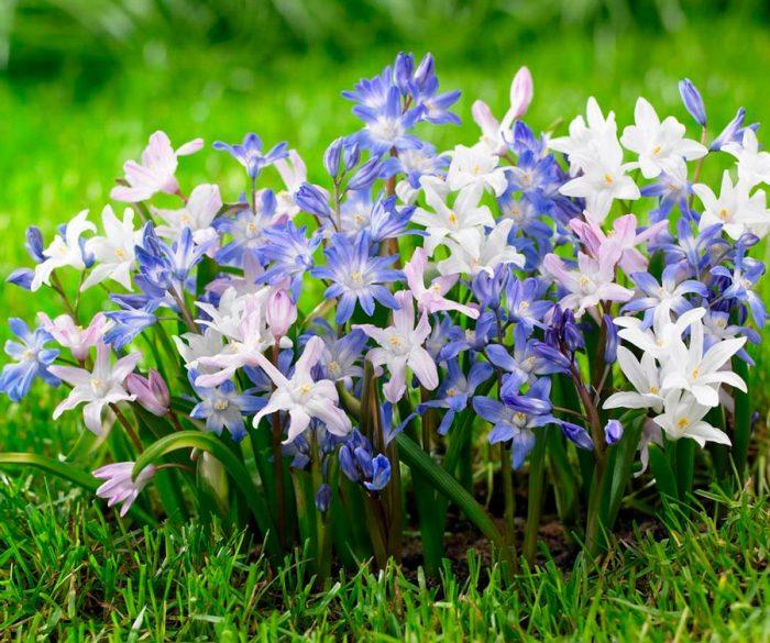 Уход за хионодоксами в саду