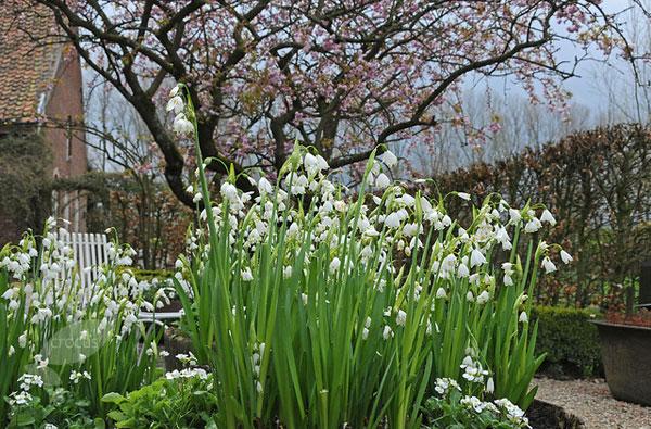 Уход за белоцветником в саду