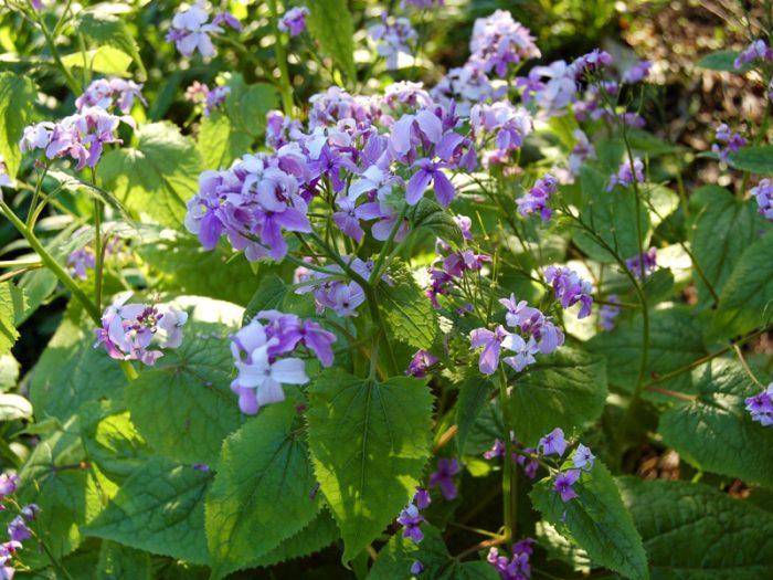 Цветок лунник: посадка и уход в открытом грунте, выращивание в саду