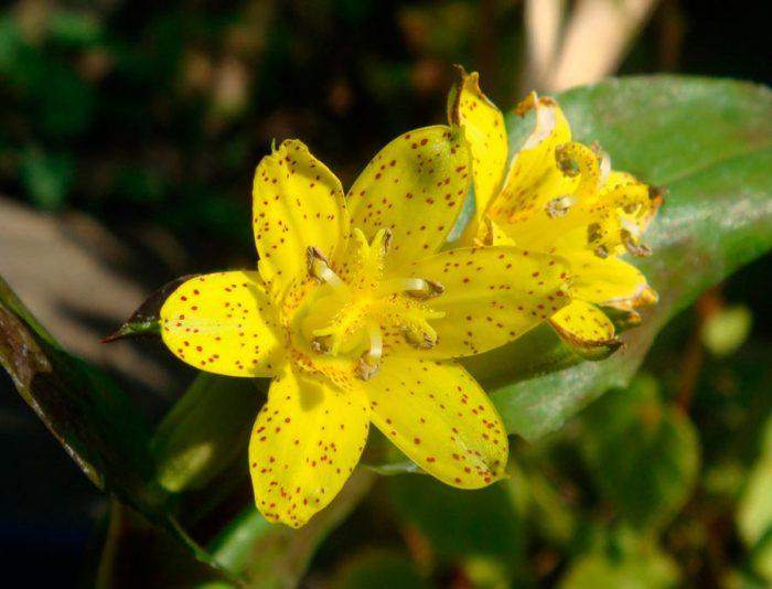 Трициртис желтый
