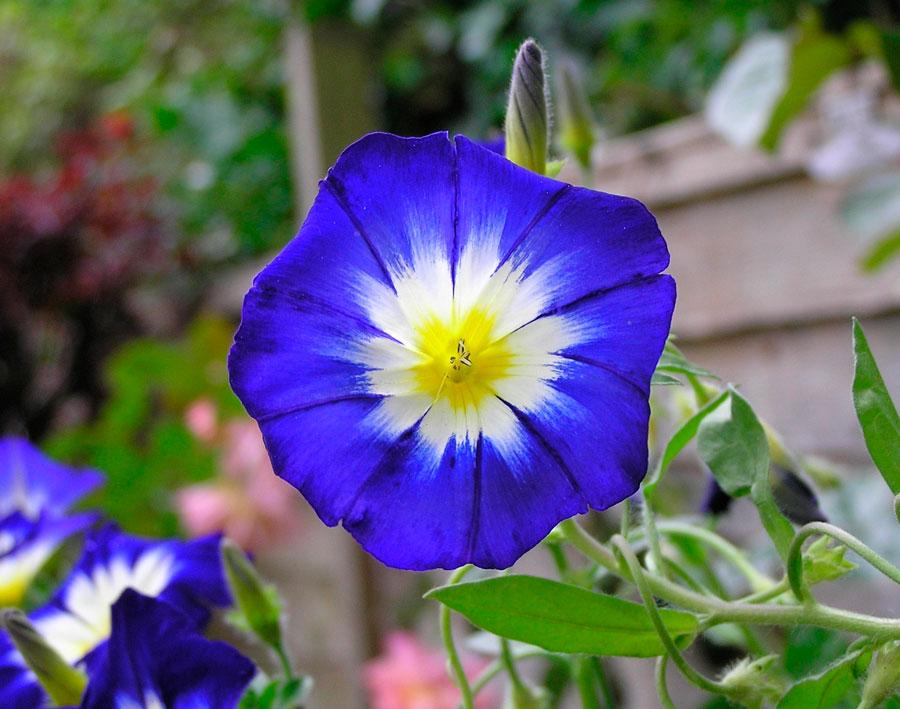 Тропический цветок вьюнок звездчатый для вашего сада
