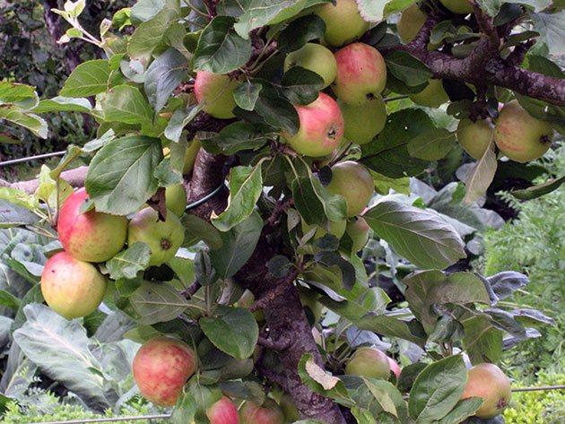 Карликовая яблоня для Сибири