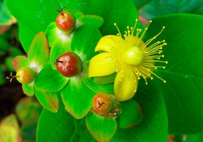 Зверобой двубратственный (Hypericum androsaemum), или зверобой красильный