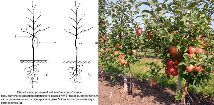 Размножение карликовых яблонь при помощи интеркалярной вставки