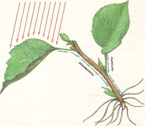 Как размножить зелеными черенками