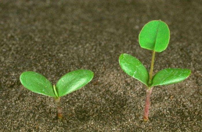 Выращивание донника