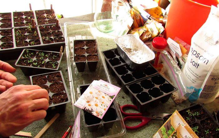 Выращивание нивяника из семян