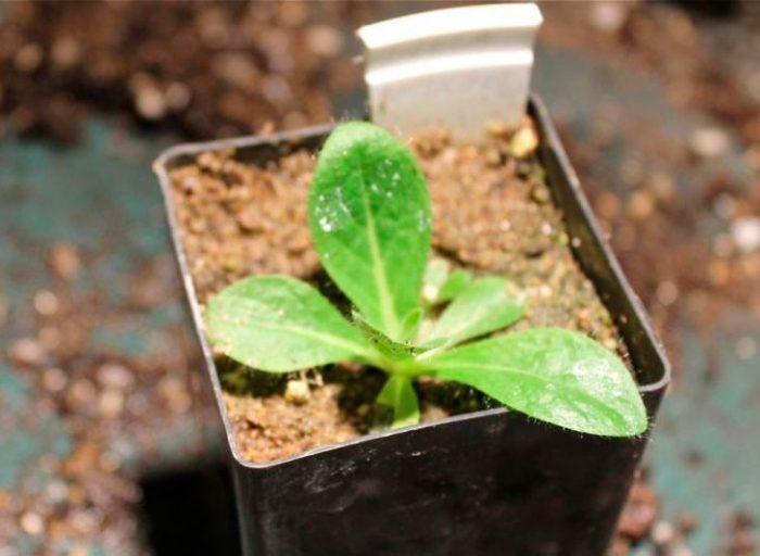 Выращивание девясила из семян