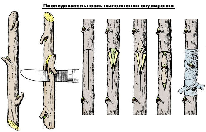 Как размножить окулировкой