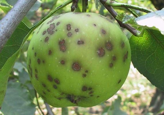 Болезни карликовых яблонь