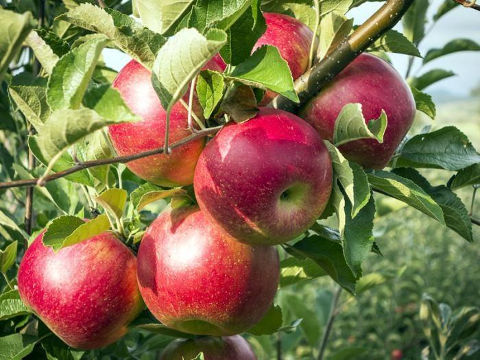 Карликовые яблони для Подмосковья