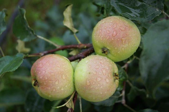 Карликовые яблони для Урала