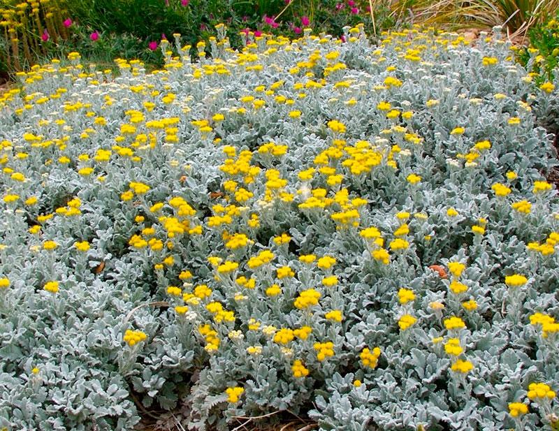 Ромашка садовая многолетняя - посадка и уход