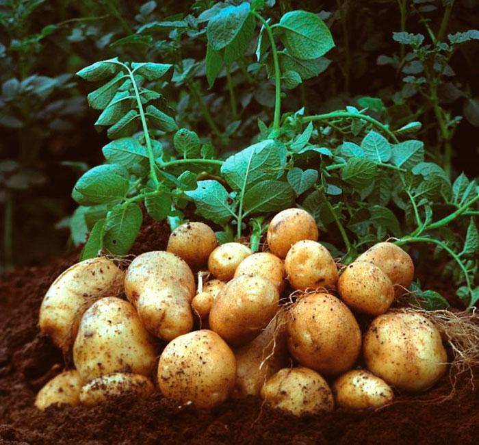 Посадка семян картофеля в грунт