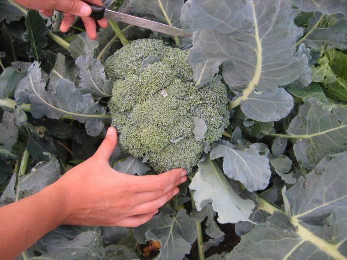 Выращивание брокколи в Подмосковье