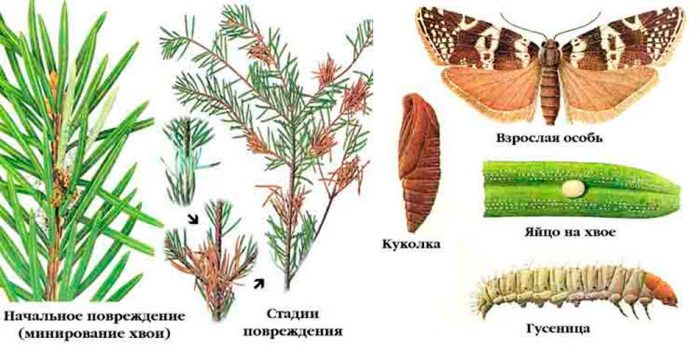 Еловая листовертка-иглоед