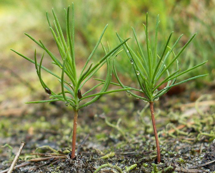 Выращивание сосны из семян