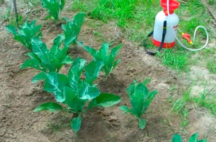 Обработка капусты