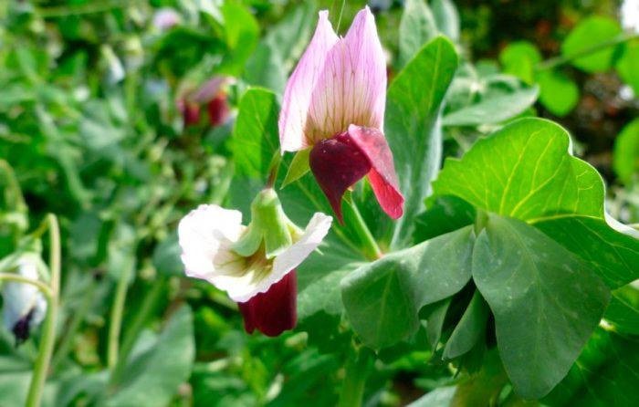 Сахарные (Pisum sativum convar. axiphium)