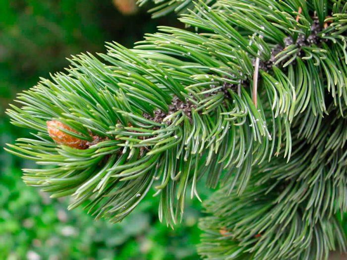 Сосна бристольская (Pinus aristata), или сосна остистая