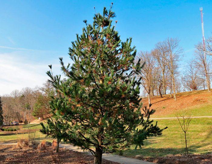 Сосна гибкая (Pinus flexilis)
