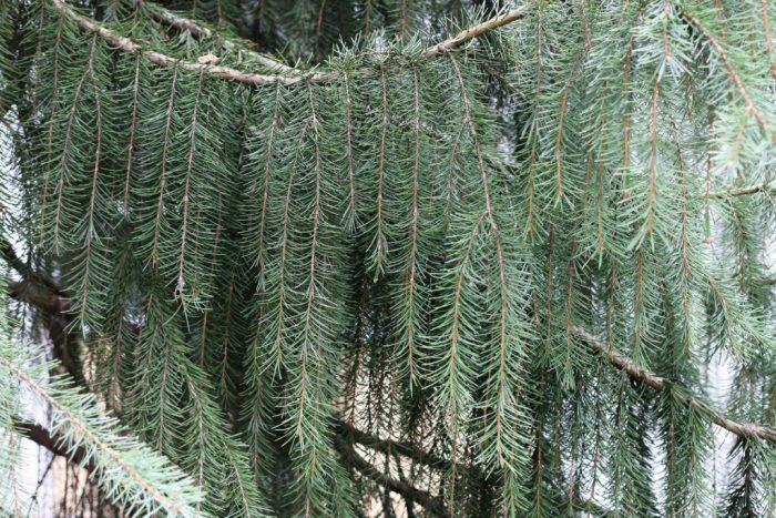 Ель Бревера (Picea breweriana)