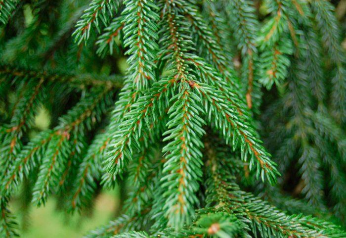 Ель восточная (Picea orientalis)