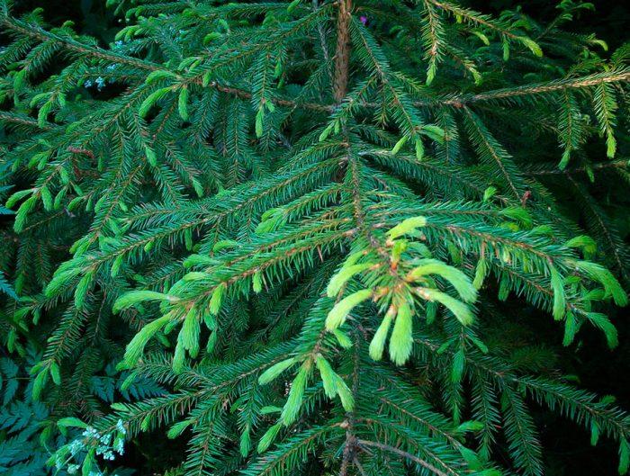 Ель корейская (Picea koraiensis)