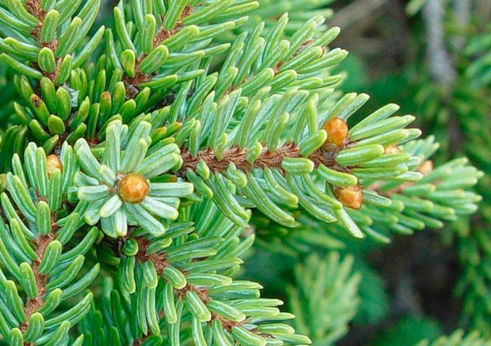 Ель черная (Picea mariana)