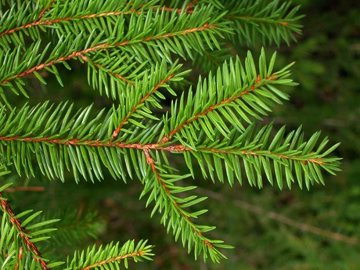 Ель обыкновенная (Picea abies), или ель европейская