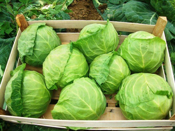Уборка и хранение капусты