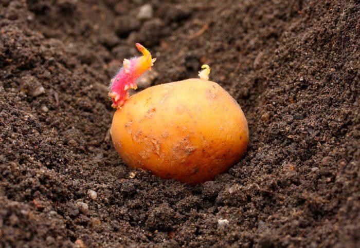 После чего можно сажать картофель