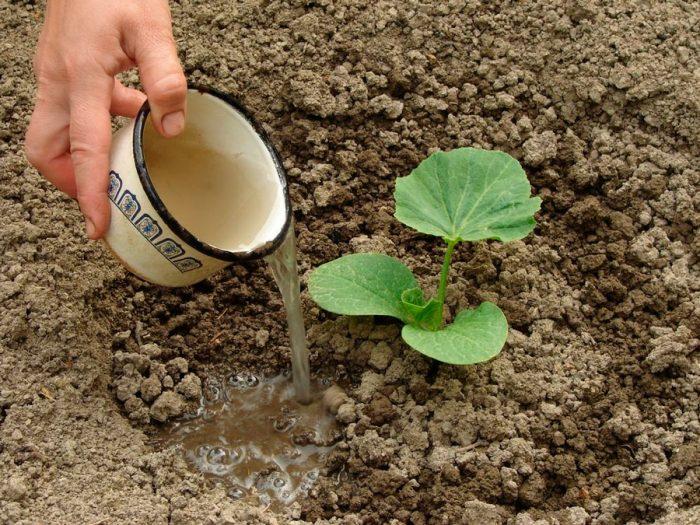 Правила высадки рассады в открытый грунт