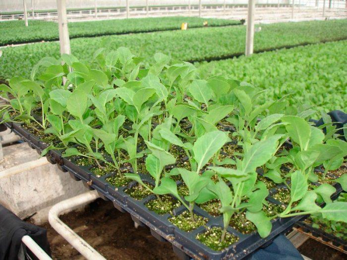 Выращивание капусты из семян
