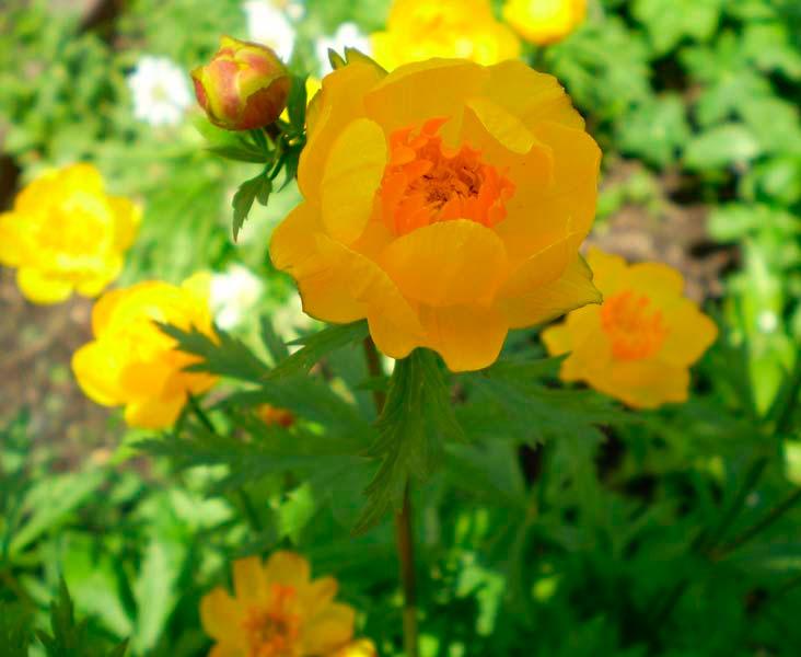 1-4 Купальница азиатская — Все цветы